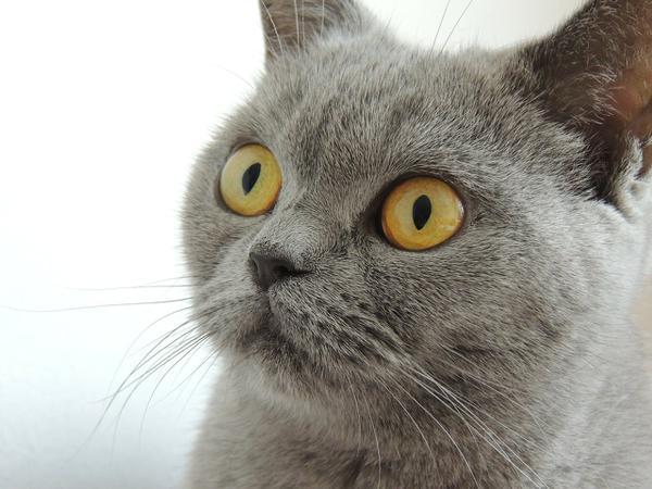 sprzedaż kotów brytyjskich